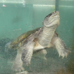 カミツキガメの画像 p1_16